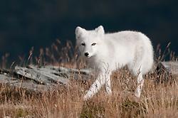 Poolvos; Arctic fox