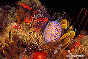 gas flame nudibranch, Bonisa nakaza, and crinoids on temperate reef, False Bay, Cape of Good Hope, South Africa
