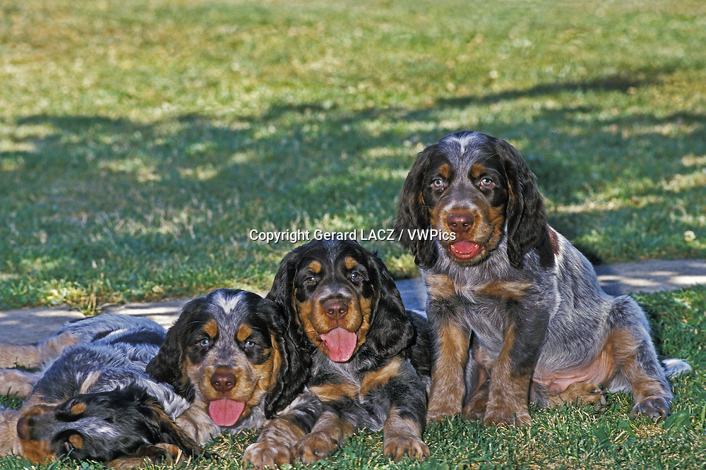 Picardy Spaniel Pups