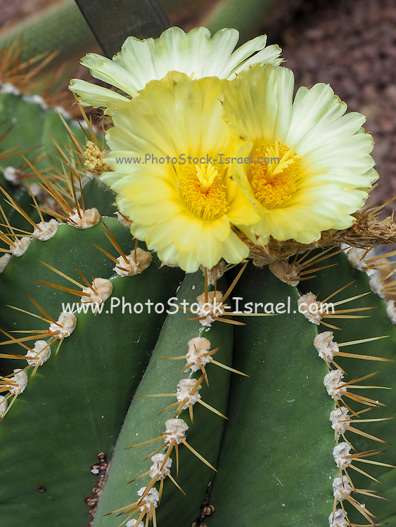 blooming cactus flower Photographed in Madrid Botanical Gardens