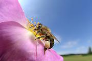 Die Honigbiene (Apis mellifera) sammelt Pollen in einer Hagebuttenblüte. Ganz nebenbei bestäubt sie dabei die Blütenpflanze und wird damit zum wichtigsten Bestäuber im Insektenreich. Kiel, Deutschland