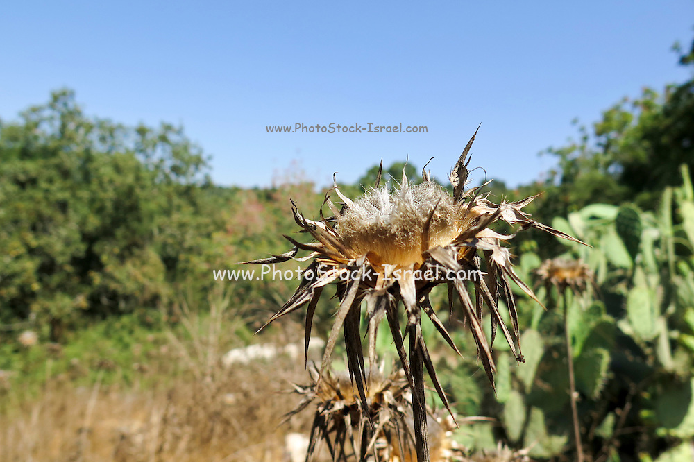 Dry milk thistle in summer Photographed in Israel in July