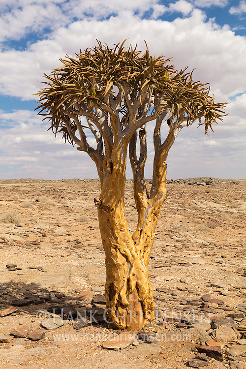 The quiver tree (aloe dichotoma) gets its name through the San people's practice of hollowing out the tubular branches to form quivers for their arrows.