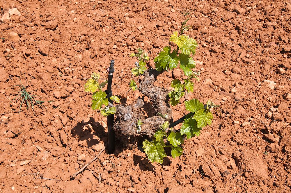 Weinstock auf  einem Feld der terra rossa der roten Erde La Manchas