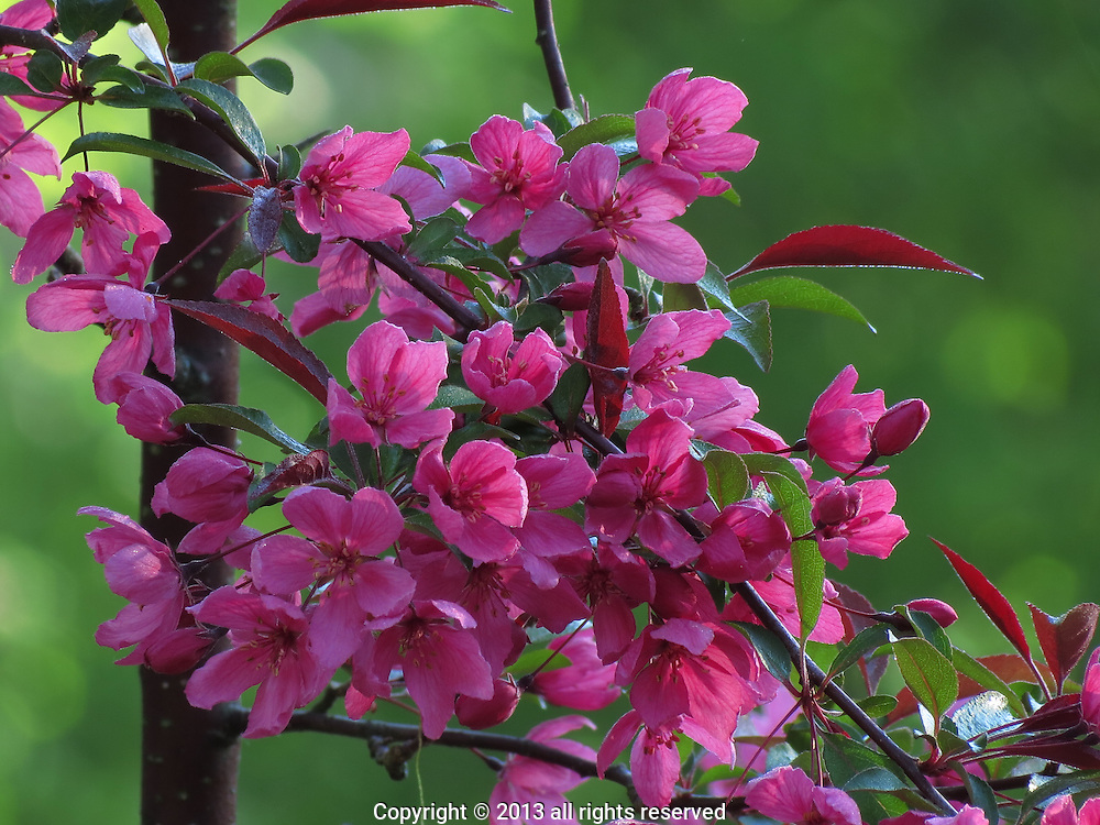 CRAB APPLE BLOSSOMS, DORSET, VT