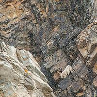mountain goats on cliff