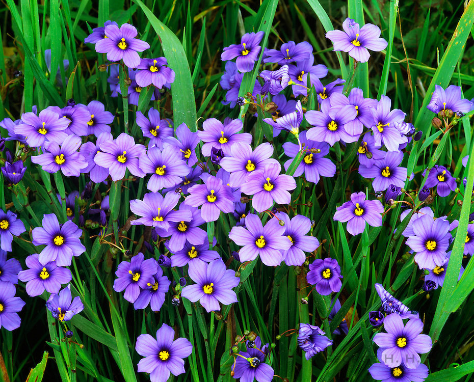 0603-6049  ~  Copyright:  George H. H. Huey ~  Blue-eyed grass [Sisyrinchium bellum] along the Harris Point Trail.  San Miguel Island.  Channel Islands National Park, California.