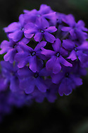 VERBENA 'HOMESTEAD PURPLE'
