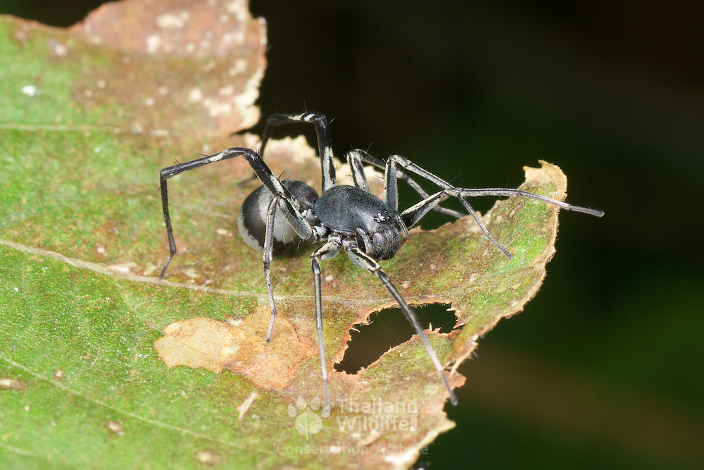 Ant mimic Corinnid sac spider (family Corinnidae), Khao Yai National Park, Thailand