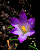 Purple Crocus Flower. Image taken with a Fuji X-H1 camera and 80 mm f/2.8 macro lens.