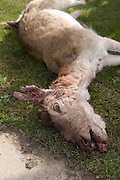 A  deer killed by poachers in Yorkshire, UK.