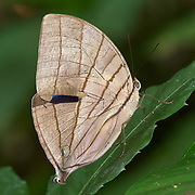 The Koh-i-noor (Amathuxidia amythaon) is a butterfly found in Asia. It belongs to the Morphinae, a subfamily of the Brush-footed butterflies.