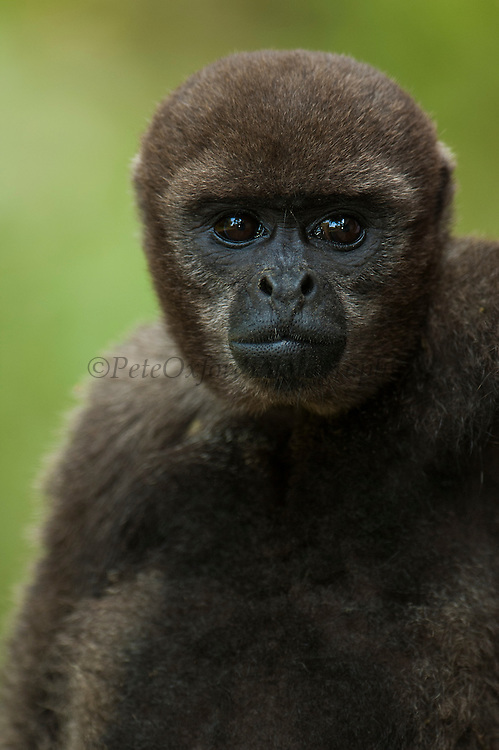 Common Woolly Monkey (Lagothris lagothricha)<br /> Amazoonico Animal Rescue Center CAPTIVE<br /> Amazon Rain Forest<br /> ECUADOR.  South America<br /> Range: Upper Amazon Basin of Colombia, Ecuador, peru and Brazil west of Rios negro. <br /> Large diurnal arboreal monkey. They live in groups of 2 - 70 and are not territorial so groups overlap. They feed on fruit, leaves, seeds and anthropods. They forage daily in the upper and middle reaches of the forest canopy. Usually only found in primary forests.<br /> CITES 11.  They are the most intensively hunted monkey and as the females only breed every other year from the age of 6-8 years onwards they are becoming rare. At current hunting pressure this species is unable to maintain its population and are the first monkeys to disappear from a hunted area.