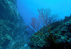 A Gorgonian fan coral on Mermaid Reef at the Rowley Shoals.