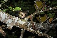 aye-aye, Daubentonia madagascariensis, Fingertier, 指猴, アイアイ, آيآي