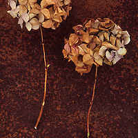 Two dried flowerheads of Hydrangea macrophylla with tones from pink to brown lying on rusty metal sheet