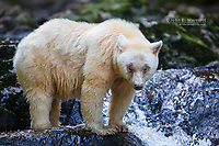 A white spirit bear in the Great Bear Rainforest