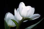 This is one of several successful shots of these elegant white tulips.