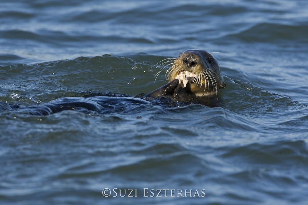 Southern Sea Otter<br /> Enhydra lutris<br /> Feeding on clam<br /> Monterey Bay, CA, USA