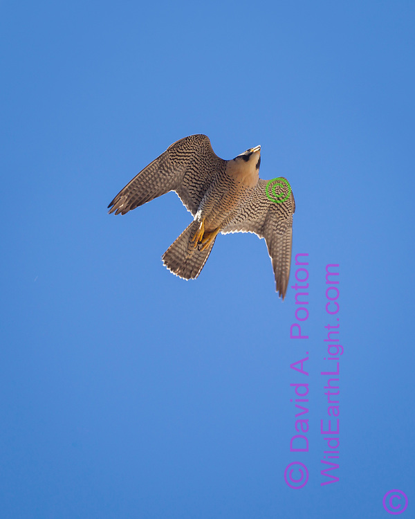 Peregrine falcon pitches up from a fast dive, © 2011 David A. Ponton