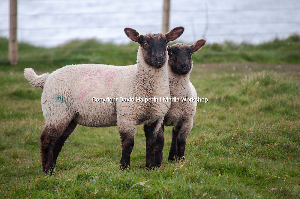 Two black-faced lambs facing camera - side view