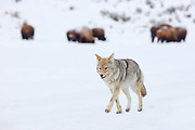 A coyote (Canis latrans) walks on an ice-covered road as bison graze in the distance in the Lamar Valley of Yellowstone National Park, Wyoming.