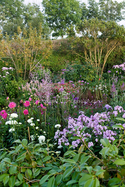 Perennial border including Thalictrum, Verbena bonariensis, Phlox, Astilbe, Achilea,  Echinops, Leucanthemum, poppy seed heads and Dahlias. Groups of pink and claret plants. Poppy Cottage Garden, Cornwall