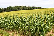 Crop of sweetcorn growing in hillside field, Butley, Suffolk, England, UK