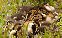 Young Mallard chicks rest in the grass next to a marsh pond in Utah.
