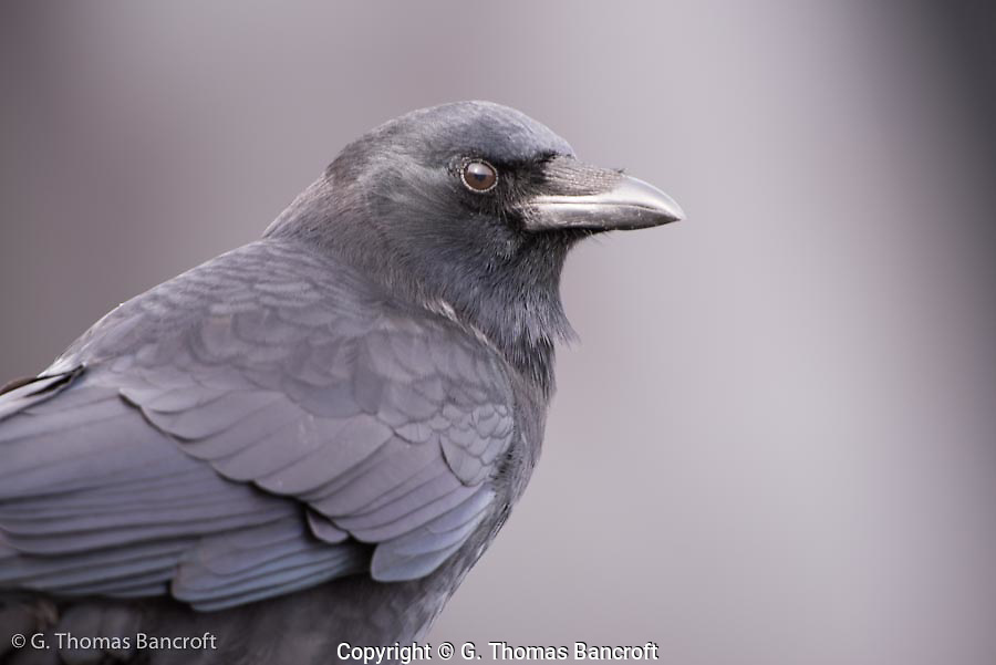 A common crow pauses for a portrait along the beach.