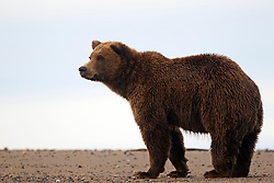 North American brown bear /  coastal grizzly bear (Ursus arctos horribilis) standing on a sandy beach between Cook Inlet and Silver Salmon Creek, Lake Clark National Park, Alaska, United States of America