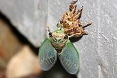 Cicadas, locusts and Grasshoppers