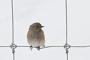 Hedge Sparrow, New Zealand