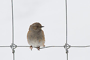 Hedge Sparrow, New Zealand