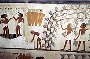 Wall painting from the tomb of the scribe Menna, Thebes, 18th dynasty.   Scene of  the Vendage: picking grapes in vineyard (right) and treading grapes (left). At top centre are amphora-shaped  ceramic wine vessels