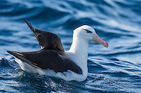 Black-Browed Albatross floating on the oceans surface, Cape Canyon Trawl Grounds, South Africa