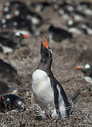 A Gentoo penguin calls out from its nest.