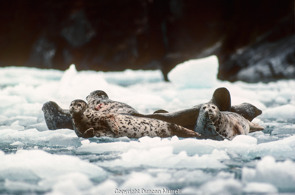 """The harbor seal (Phoca vitulina), a widespread species in both the north Atlantic and Pacific oceans, is found in Alaska along the coast extending from Dixon Entrance north to Kuskokwim Bay and west throughout the Aleutian Islands. Harbor seals, and other phocid (true) seals, also are called """"hair"""" seals, which helps distinguish true seals from fur seals. Harbor seals haul out of the water periodically to rest, give birth, and nurse their pups. In winter seals spend up to 80% of their time in the water. In spring and summer they spend more time hauled out during pupping and moult season. Reefs, sand and gravel beaches, sand and mud bars, and glacial, pan ice, and sea ice are commonly used for haul-out sites. The moulting lines on these seals are clearly visible."""