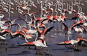 Flamenco rosa (Phoenicopterus ruber)..Grupo de adultos iniciando el despegue..Laguna de Fuente de Piedra (Málaga)