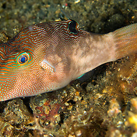 Alberto Carrera, Fine-spotted Pufferfish, Canthigaster compressa, Lembeh, North Sulawesi, Indonesia, Asia