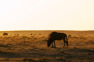 The Blue Wildebeest (connochaetes taurinus) is a distinctive high-shouldered antelope with a long broad muzzle and cow-like horns. It is one of two species of wildebeest and is famous for forming vast migratory herds.