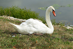 Spring Lake Fish and Wildlife Area is located in Tazewell County, 25 miles southwest of Peoria on the east side of the Illinois River.<br /> <br /> Trumpeter Swan - Cygnus buccinator