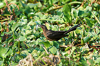 Great-tailed Grackle (Quiscalus mexicanus)  with a small fish found in the water hyacinth, Lake Chapala Jocotopec, Jalisco, Mexico
