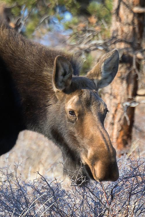 Moose (Alces alces) cow near Allenspark, Colorado