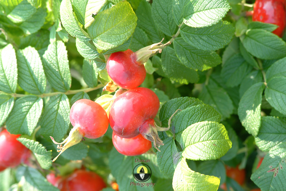 August 25, 2007 -- PHIPPSBURG, Maine.  Maine Wild Rose Hips. Rosa Rugosa.  Photo by Roger S. Duncan.