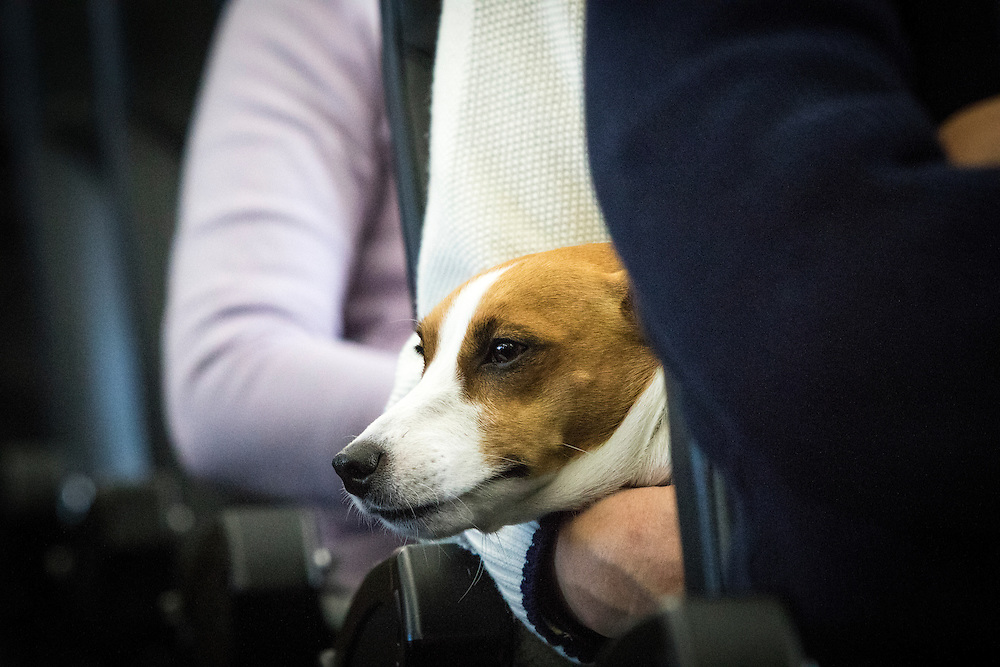 "CHIBA, JAPAN - JANUARY 27 : A dog is seen on the lap of its owner in a plane in Chiba, Japan on January 27, 2017. Japan Airlines ""wan wan jet tour"" allows owners and their dogs to travel together on a charter flight for a special three-day domestic tour to Kagoshima Prefecture, southwestern Japan. As part of the package tour, the owners and their dogs will also get to stay together in a hotel and go sightseeing in rented cars. (Photo by Richard Atrero de Guzman/ANADOLU Agency)"