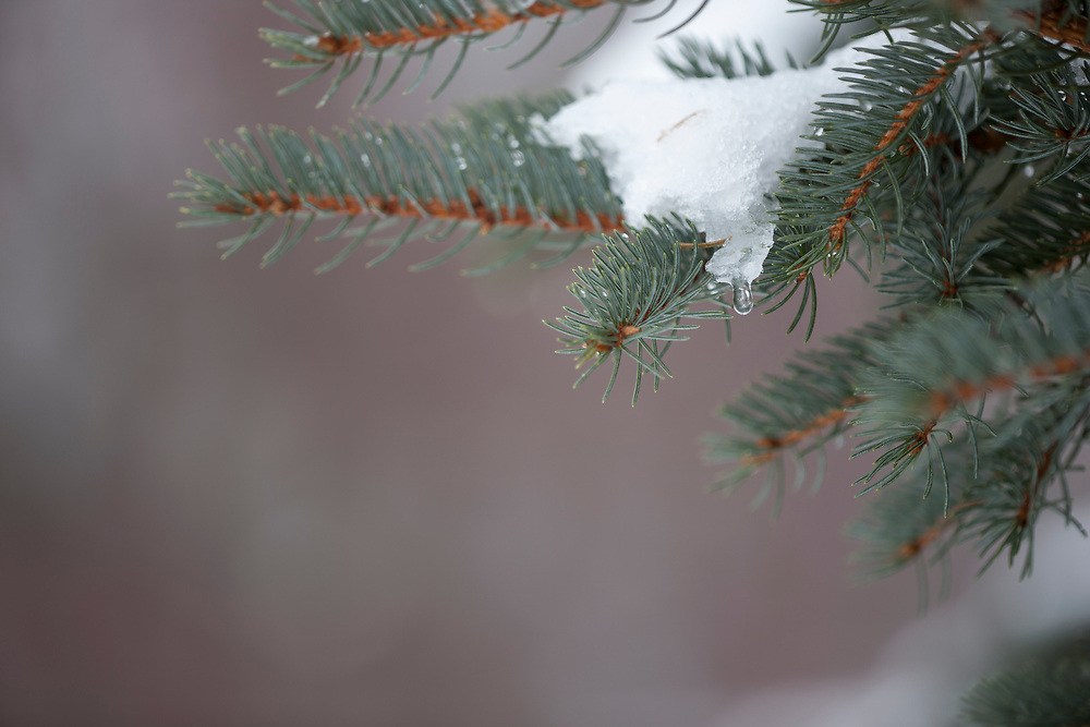 Pine boughs with melting snow and dripping water