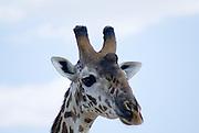 Tanzania wildlife safari A giraffe