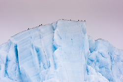 Black-legged Kittiwake (Rissa tridactyla) at iceberg in Svalbard