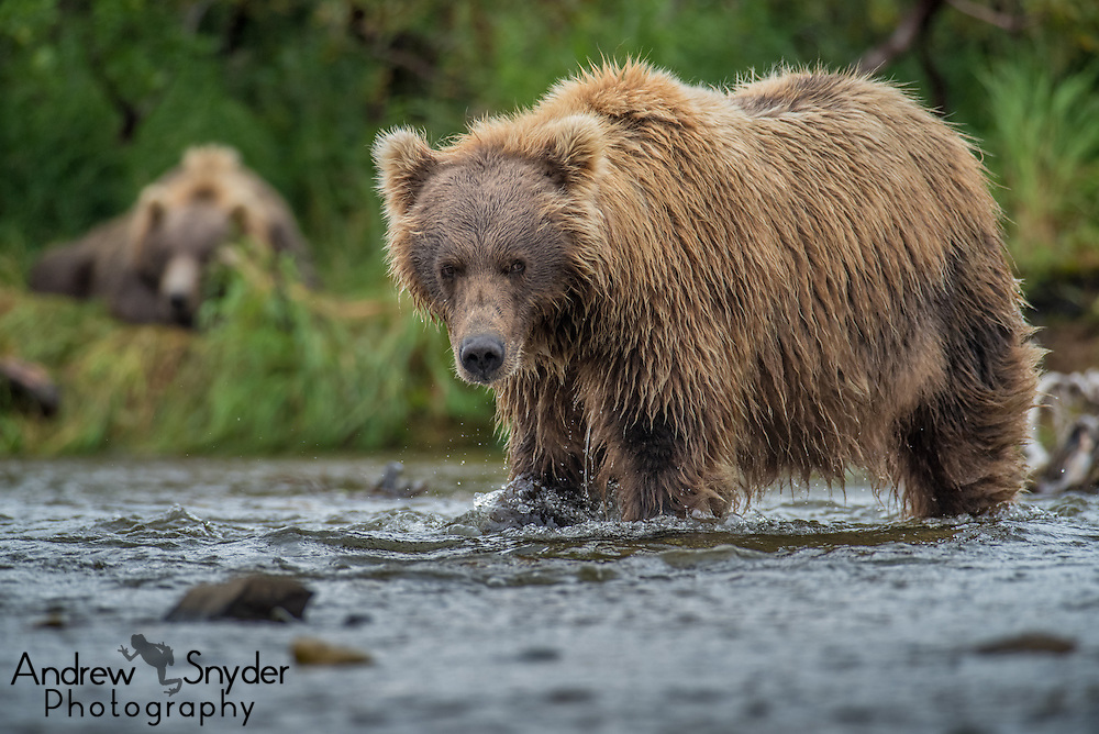 A brown bear gazes while another sleeps in the background - Katmai, Alaska